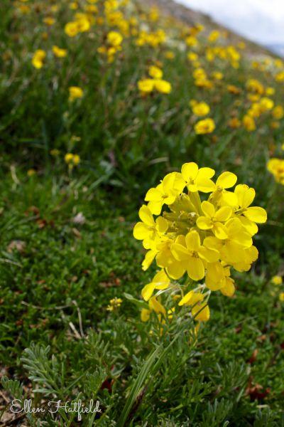 Rockies Wildflower