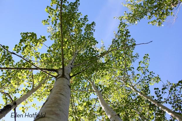 TRSP Trees